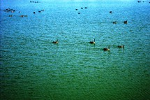 Canada geese on a deep blue-green lake.