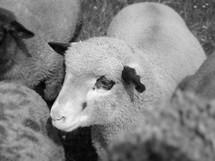 Young sheep.