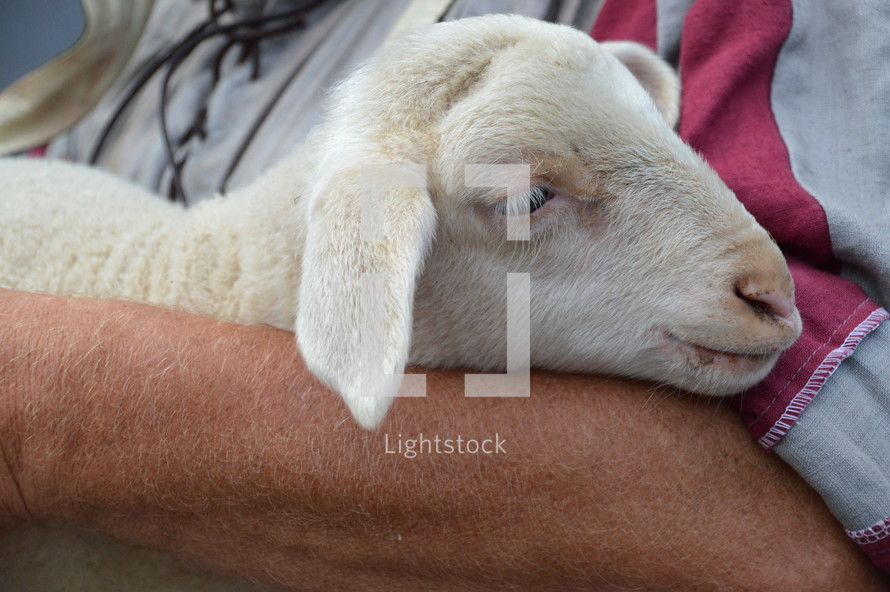 The lost sheep in the arms of the good shepherd,  sheep, shepherd, lost, found, sinner, sin, with, lamb, pure, love, care, herder, pastoralist, herdsman, good, concern, bother, mind, seek, search, find, look for, seeking, finding, searching, return, bring, bring back, carry, carrying, animal, young, wool, fleece, woolly, woolen, flock, herd
