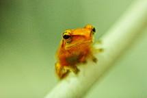 baby tree orange frog