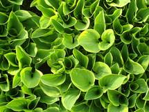 hosta.  hosta, leaves, leaf, background, texture, bush, nature, vegetated, garden, overgrown, covered, grow, growth, growing, grain. vein, vegetation, outdoor, natural, new, start, beginning, spring, fresh, restart, plant, increase, prosper, wax,  thrive, flourish, thrift, flourishing, chance, springtime, season, springtide, creation, bright, green, beauty, beautiful, nice, lovely, fine, pleasant, fair, pretty, shiny, glossy, brilliant