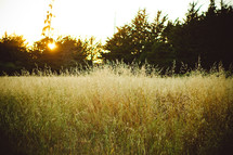 tall grasses in sunlight