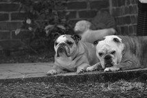 two bulldogs sunning themselves