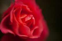 blurry red rose petals