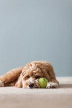 dog lying next to his ball