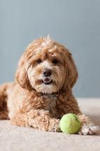 pet lying next to a ball