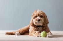 dog lying next to a ball