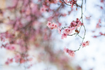 pink spring blossoms on tree branches