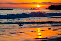 sand piper on a beach at sunset