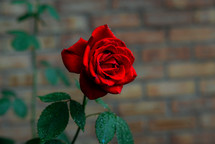 red rose and brick wall