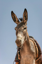 mule with a saddle
