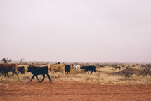 cattle on parched land