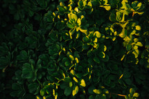 sunlight on green leaves on a bush