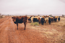 A herd of cows by a red dirt road.