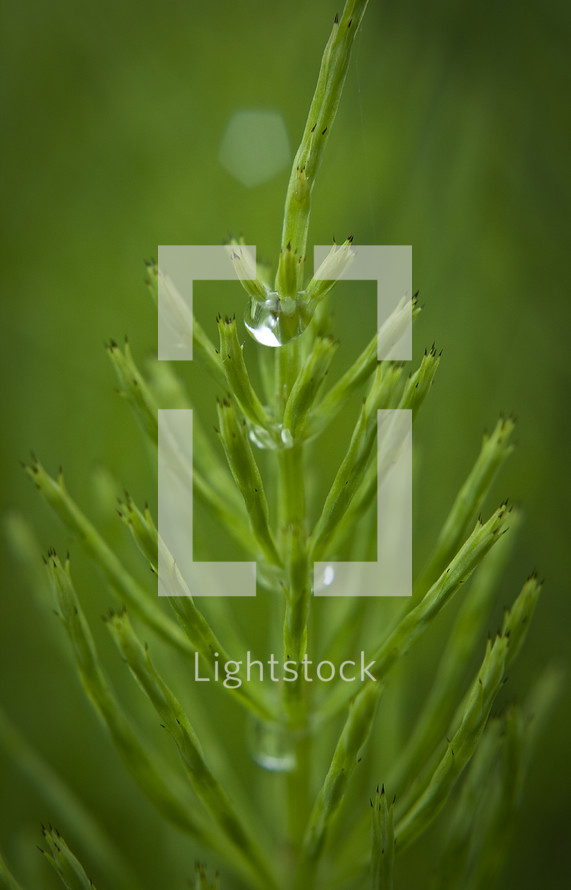 Magnified stem of green pine needles with drops of dew.