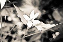 Colorado wildflower in black & white.
