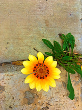 yellow flower growing in a crack