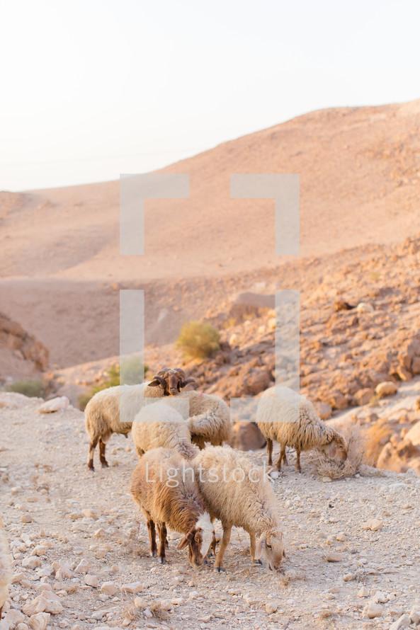 sheep grazing on a desert mountain