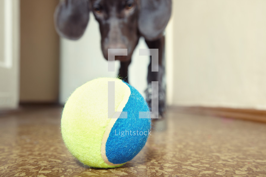 dog with a tennis ball