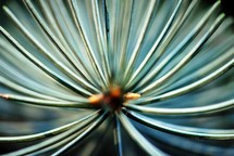 Tip of a branch of blue spruce viewed from the end.