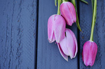 pink tulips on blue wood background