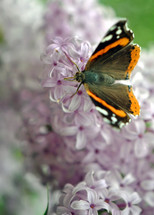 Red admiral butterfly on lilac flowers.