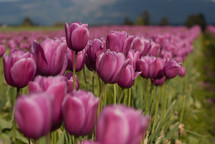 Tulip farm  in spring.