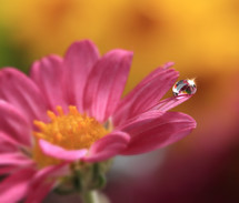 water drop on the petals of a pink flower