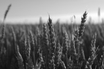 Wheat field during harvest time