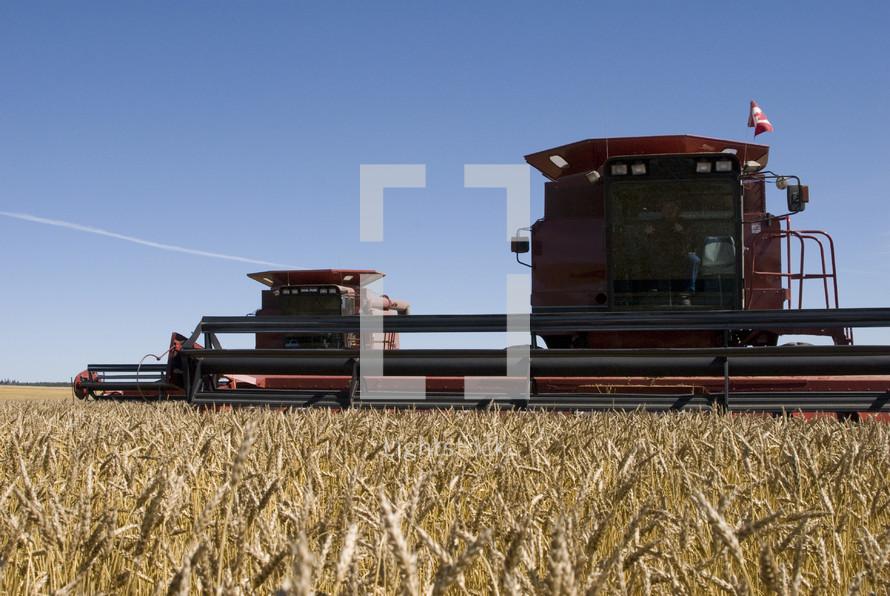 Combine harvesters harvest a field of ripe grain