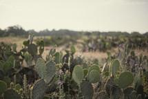 Field of Texas cactus.