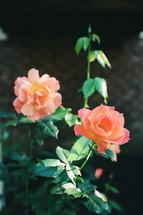 peach roses in a flower garden
