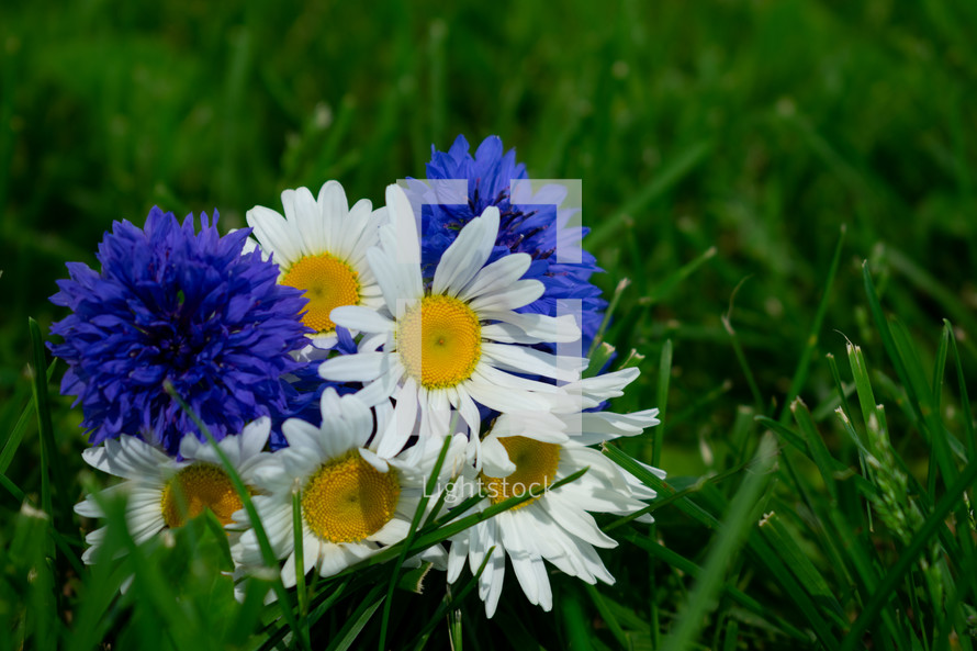 blue and white flowers in the grass