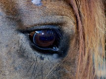 A Closeup view of the eye of a Horse.