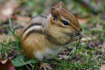 chipmunk eating grass