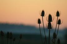 Top of thistle bushes at dusk.
