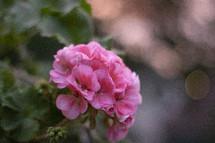pink geraniums