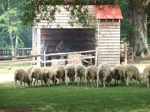 A flock of Sheep grazing together on a farm. Often Jesus used Sheep as examples and metaphors in his parables to the Disciples and those He taught.