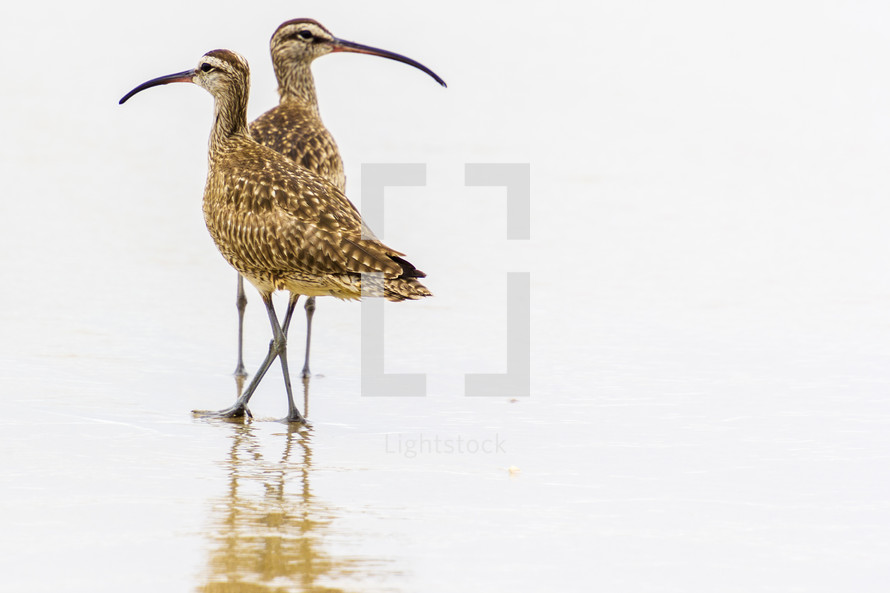 Pair of whimbrel on the beach with a reflection on the wet sand.