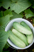 fresh picked cucumbers