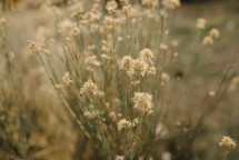 dry flowers in a field