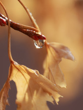 Water drop on a fall tree branch.