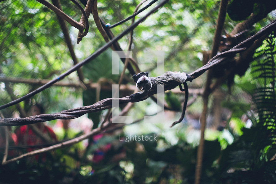 emperor tamarin on a vine
