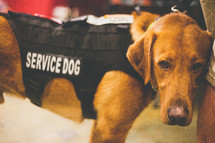 A service dog in a vest