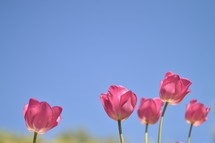 tulips in front of blue sky