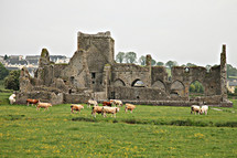 cattle and ruins of an old cathedral
