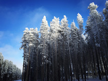 amazing lodgepole forest with frosted tops - iPhone capture