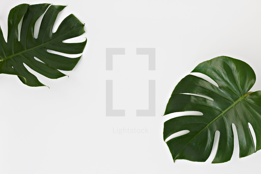 tropical leaves on white