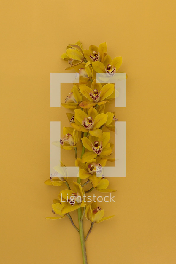 yellow orchids on a yellow background