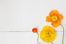orange and yellow poppies on white